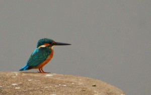 Small Blue Kingfisher, November 2011 - Sukhna Wetland (Photo courtesy Rajesh Pandey)