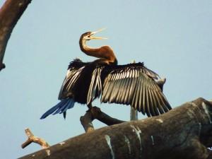 Snake Bird, Taroba Lake, Taroba-Andhari Tiger Reserve