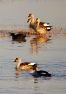 Spot-billed Ducks December 2011 - Sukhna Wetland (Photo courtesy Rajesh Pandey)
