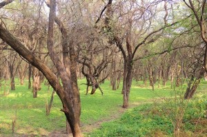 Sukhna Lake Reserve Forest (Photo courtesy Kuljit Bains)