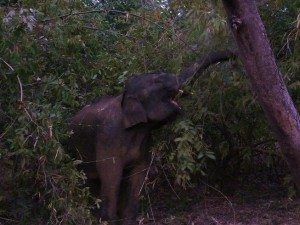 Tame elephant, Taroba-Andhari Tiger Reserve