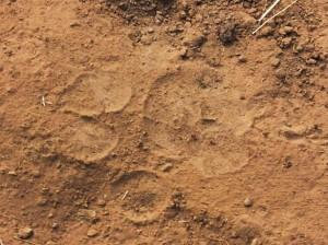 Tiger pugmark,   Taroba-Andhari Tiger Reserve