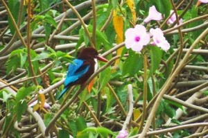 White-throated Kingfisher, Village pond at ramdegi, Taroba-Andhari Tiger Reserve