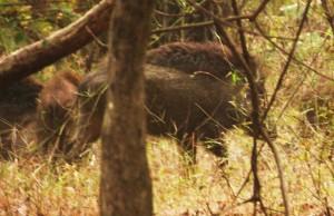 Wild Boar, Taroba- Andhari Tiger Reserve