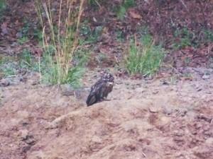 Wild Owl, Taroba-Andhari Tiger Reserve