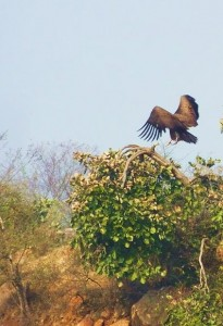 Black Kite, Asola-Bhatti Wildlife Sanctuary