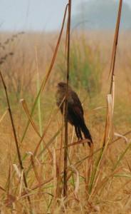 Black Kite, Corbett Tiger Reserve
