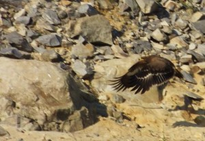 Black Kite in flight - Lake Peacock, Asola-Bhatti Wildlife Sanctuary