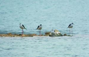 Black-winged Stilts, Mangar Lake