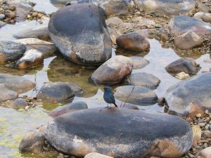 Blue Rock Thrush, Corbett Tiger Reserve