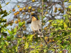 Brahminy Starling, Asola-Bhatti Wildlife Sanctuary (February)