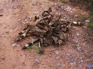 Carcass of Nilgai killed by Hyena, Aravalis- Bhondsi-Gamroj