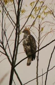 Changeable Hawk-Eagle, Corbett Tiger Reserve