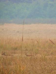 Chital flock grazing in the grassland near Ramganga Reservoir