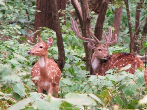 Chitals on Dhangari - Dhikala road, Corbett Tiger Reserve