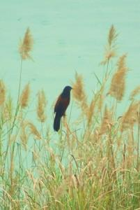 Coucal on the grassy banks of Mangar lake