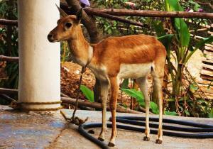 Blackbuck doe, Bani Dham (Mangar)
