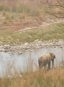 Elephant grazing on the banks of Ramganga