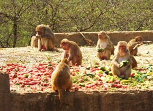 Feeding shelter for monkeys, Asola-Bhatti Wildlife Sanctuary