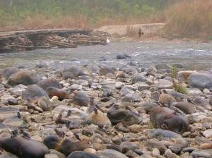 Flock of Blue Rock Thrushes, Corbett Tiger Reserve