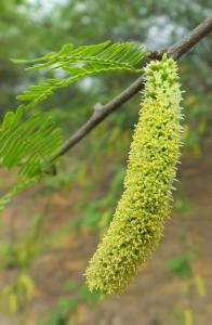 Flowers of the Vilayati Kikar (Prosopis juliflora) Mangar forests