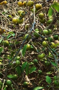 Fruit of a Bistendu tree, Asola-Bhatti Wildlife Sanctuary (January)