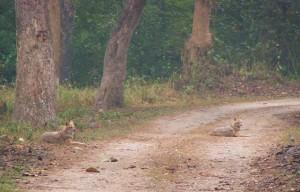 Golden Jackals near Khinnanauli Forest Rest House, Corbett Tiger Reserve