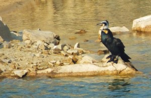 Great Cormorant, Asola-Bhatti Wildlife Sanctuary (February)