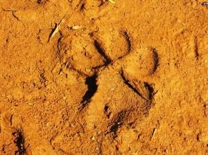 Hyena pugmark, Asola-Bhatti Wildlife Sanctuary