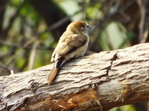 India Silverbill (White-throated Munia), Asola-Bhatti Wildlife Sanctuary (February)