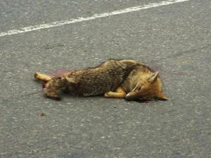 Jackal killed in a roadside accident, Surajkund-Pali road (March 2014)