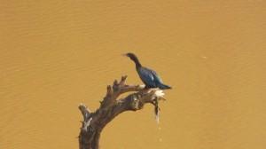 Little Cormorant, Water Harvesting Dam,Kambala, Morni Hills