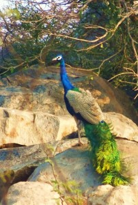 Peafowl, Asola-Bhatti Wildlife Sanctuary (February)