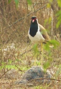 Red-Wattled Lapwing, Asola-Bhatti Wildlife Sanctuary (February)