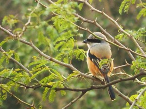 Rufous-backed Shrike, Asola-Bhatti Wildlife Sanctuary (February)