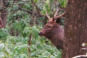 Sambar Stag on Dhangari - Dhikala road, Corbett Tiger Reserve