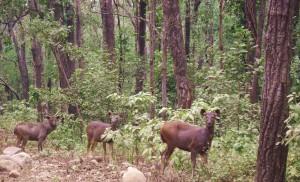 Sambar family on Dhangari - Dhikala road, Corbett Tiger Reserve