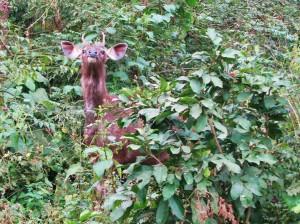 Sambar spy! Corbett Tiger Reserve