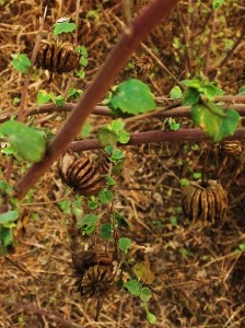 Seed pods of an Indian Mallow, Asola-Bhatti Wildlife Sanctuary (January)