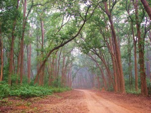 The Sal forests, Corbett Tiger Reserve