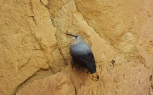 Wallcreeper- Blue-Grey Plummage, Cliff face near Water Harvesting Dam at Katli, Bhoj Paonta, Morni Hills