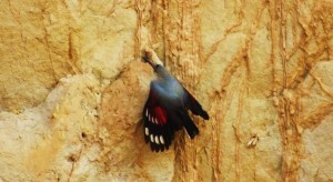 Wallcreeper, Cliff face near Water Harvesting Dam at Katli, Bhoj Paonta, Morni Hills