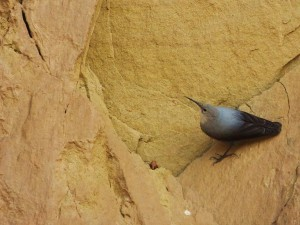 Wallcreeper-Hunting for food, Cliff face near Water Harvesting Dam at Katli, Bhoj Paonta, Morni Hills