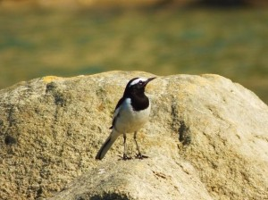 White-browed Wagtail, Gehri Jheel, Asola-Bhatti Wildlife Sanctuary