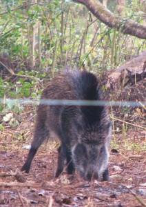 Wild Boar near Khinnanauli Forest Rest House, Corbett Tiger Reserve