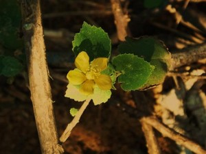 Sida cordifolia, Asola-Bhatti Wildlife Sanctuary