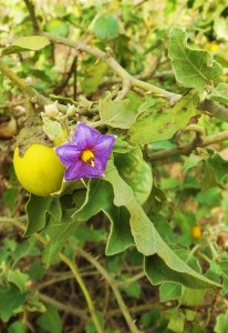 Flower and berries of Brihatee or Bardhi Kateri (Solanum indicum), Water Harvesting Dam,Kamballah, Morni foothills