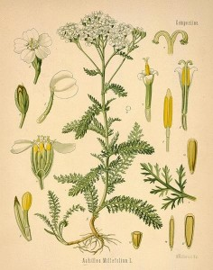 Yarrow - The Plant