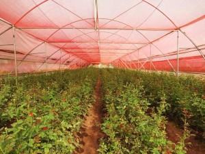 Vijay Babu's Rose Cultivation