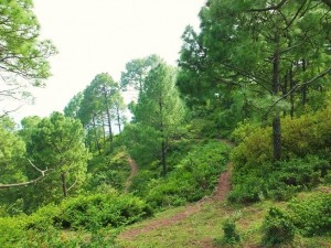 Hill track through pine belt to the Karoh Peak, Morni Hills